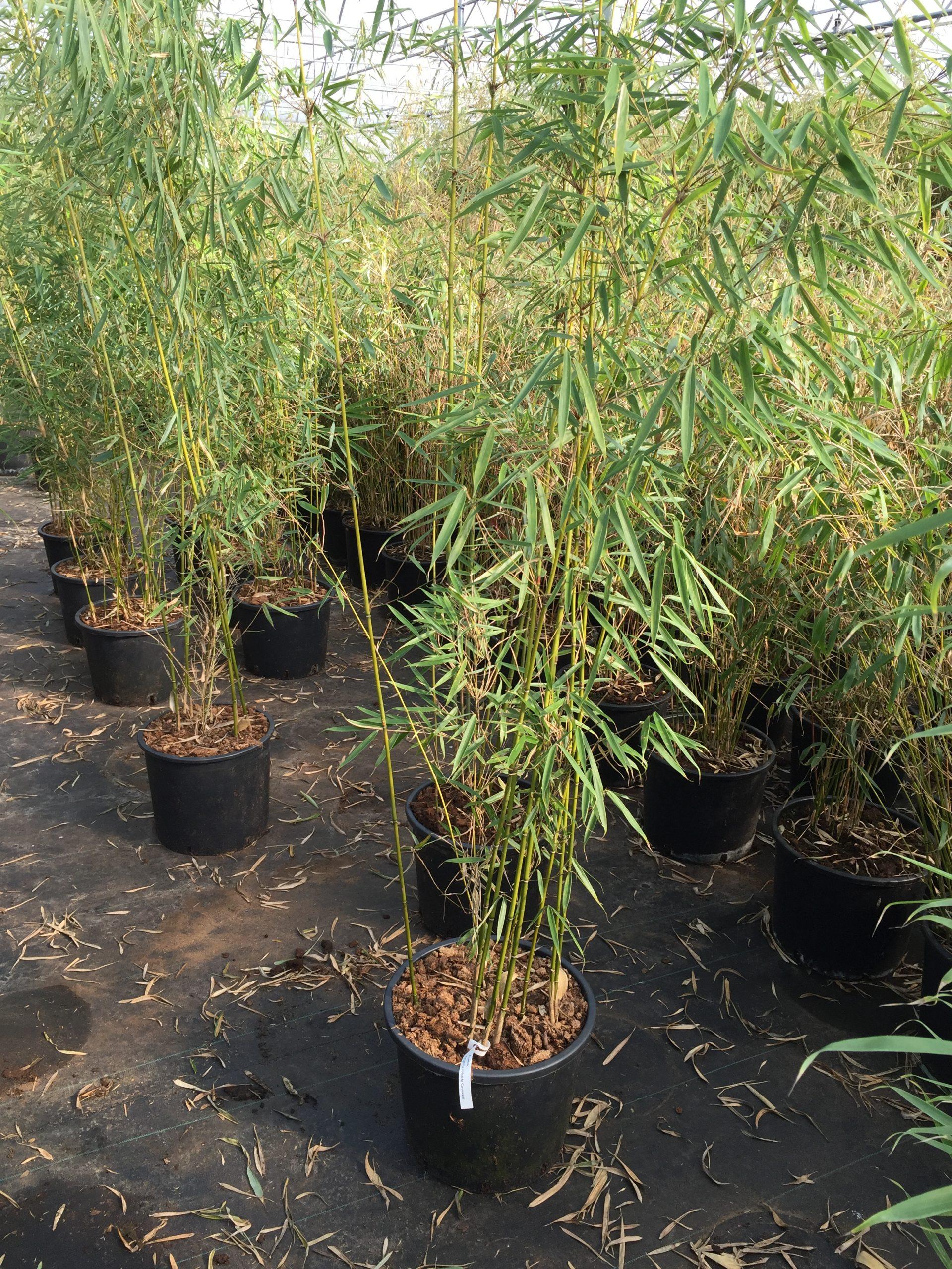Bambus kaufen - fargesia robusta campbell