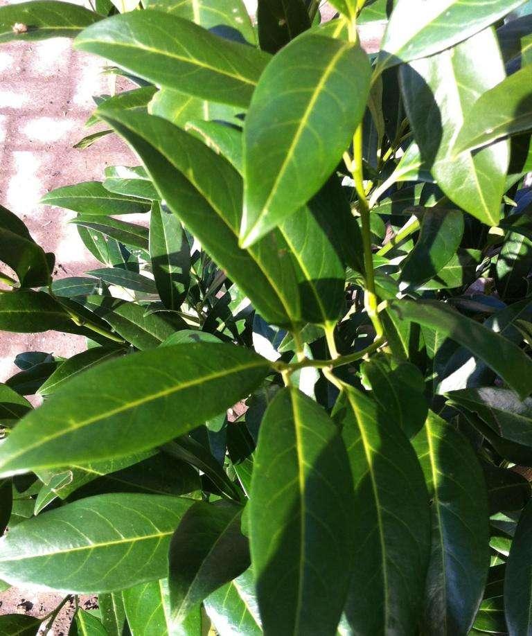 Kirschlorbeer Prunus Laurocerasus kaufen