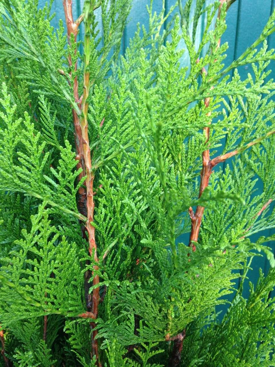 Thuja Lebensbaum kaufen