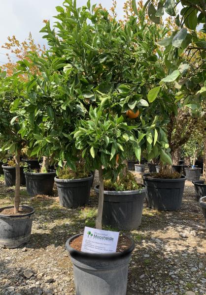 Orangenbaum 10-15 cm Stammumfang