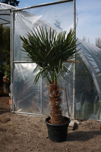 Hanfpalme - Gesamthöhe 180-200 cm - Stammhöhe 70-80 cm