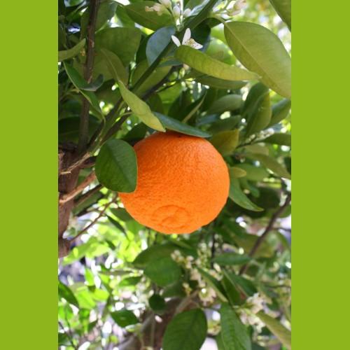 Mandarinenbaum Mini