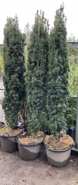 Säuleneibe Fastigiata Robusta 180/200 cm - Premium