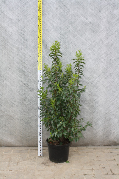 Portugiesischer Kirschlorbeer Größe 100/120 cm im Container