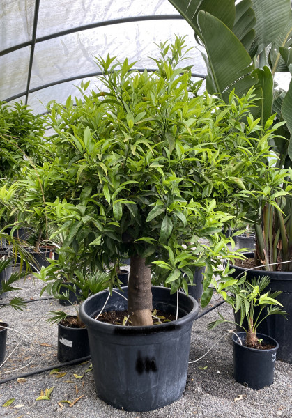 Mandarinenbaum 30-40 cm Stammumfang