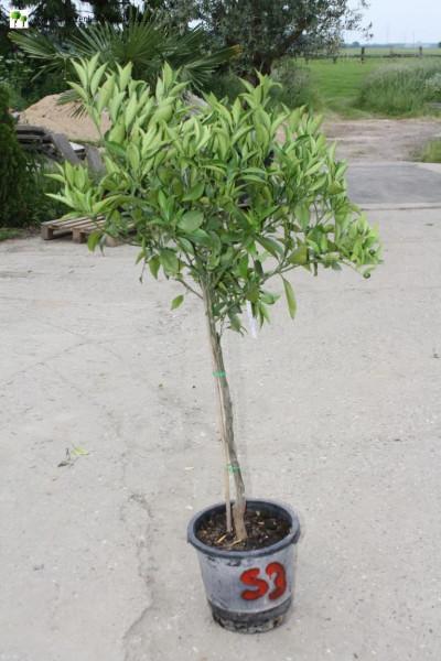 Orangenbaum Mini