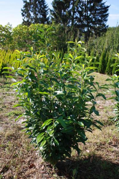 Kirschlorbeer Genolia 60/80 cm - Premium