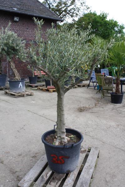 Olivenbaum 20-30 cm Stammumfang