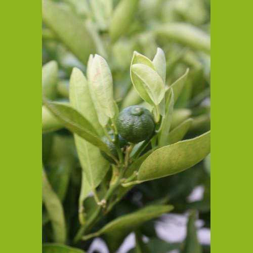 Mandarinenbaum 10-15 cm Stammumfang
