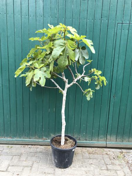 Feigenbaum Stammumfang 10-15 cm