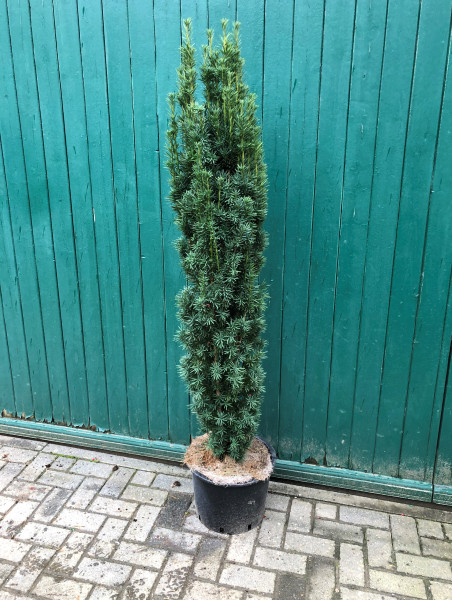 Säuleneibe Fastigiata Robusta 160/180 cm - Premium