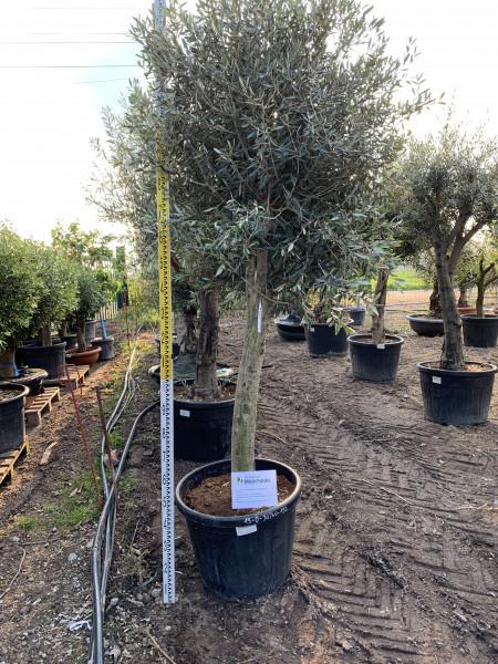 Olivenbaum 30-40 cm Stammumfang