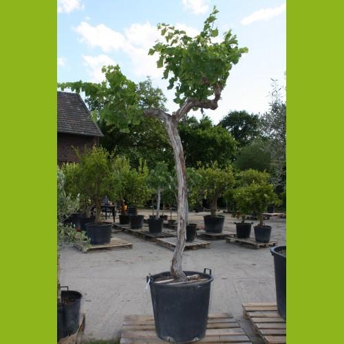 Weinrebe - Gesamthöhe 200-240 cm - Stammumfang 20-30 cm