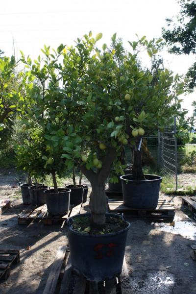 Zitronenbaum 40-60 cm Stammumfang