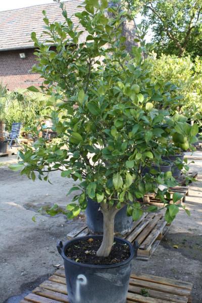Zitronenbaum 20-30 cm Stammumfang