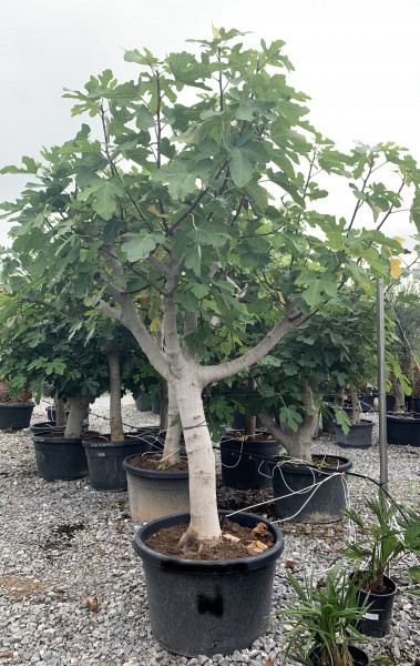Feigenbaum Stammumfang 40-60 cm