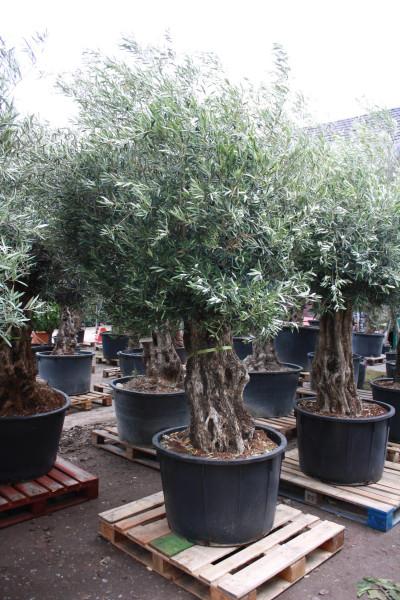 Olivenbaum - Olea Europaea Bonsai 100-120 cm Stammumfang