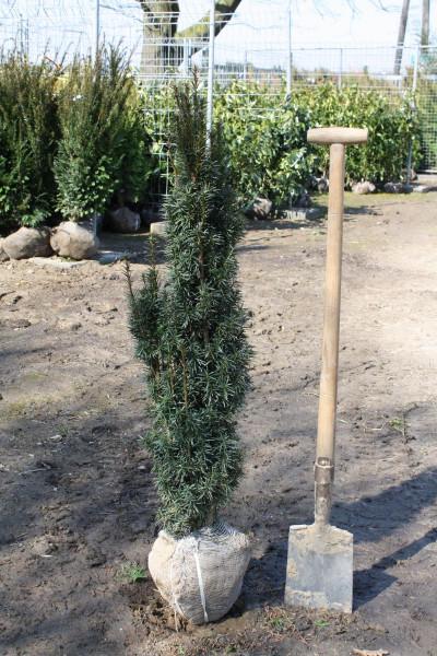 Säuleneibe Fastigiata Robusta 100/120 cm - Premium