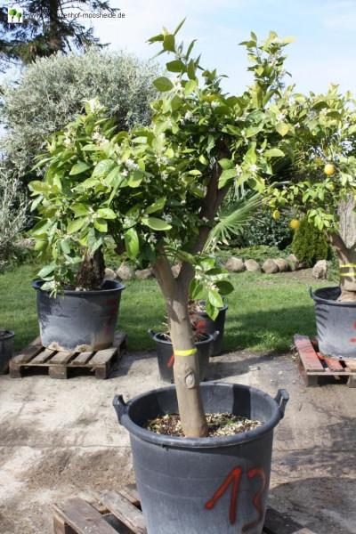 Orangenbaum 20-30 cm Stammumfang