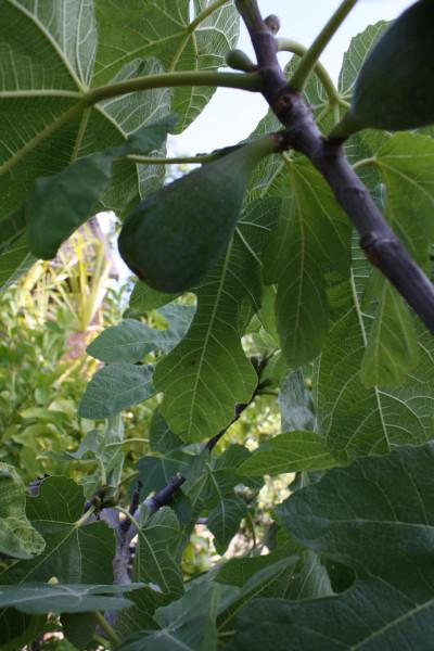 Feigenbaum Stammumfang 30-40 cm