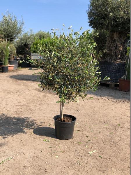Olivenbaum - Mini Olive
