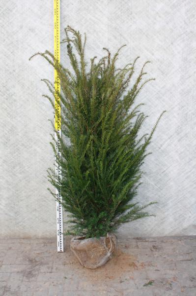 Eibe Taxus Baccata 140/160 cm