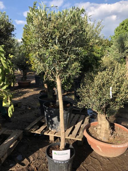 Olivenbaum 15-20 cm Stammumfang