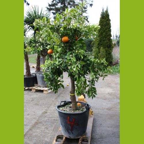 Mandarinenbaum 20-30 cm Stammumfang