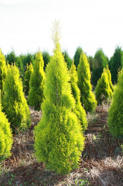 Thuja Golden Smaragd 60/80 cm
