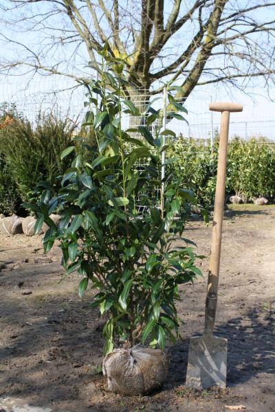 Kirschlorbeer Herbergii 80/100 cm