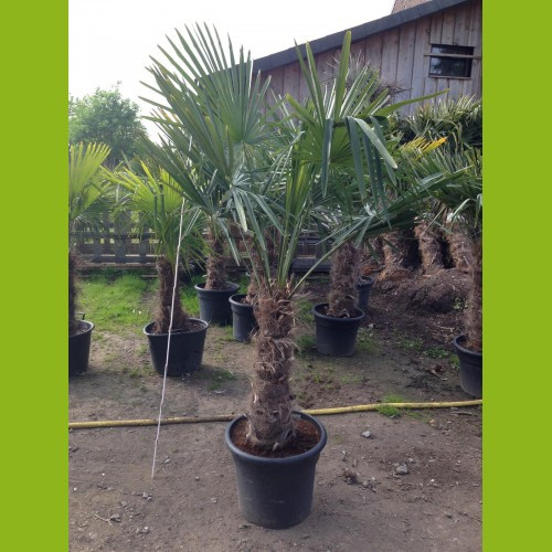 Hanfpalme - Stammhöhe 50-60 cm, Gesamthöhe 160-180 cm