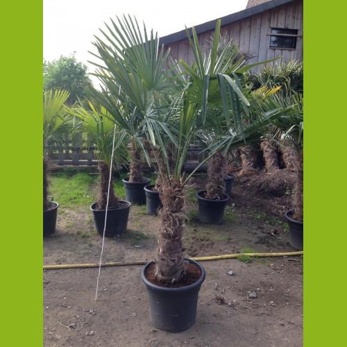 Trachycarpus fortunei - Stammhöhe 50-60 cm, Gesamthöhe 160-180 cm