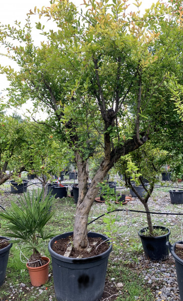 Granatapfelbaum 40-60 cm Stammumfang