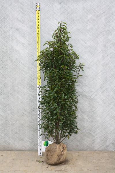 Portugiesischer Kirschlorbeer 140/160 cm