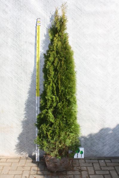 Thuja Smaragd 220/240 cm