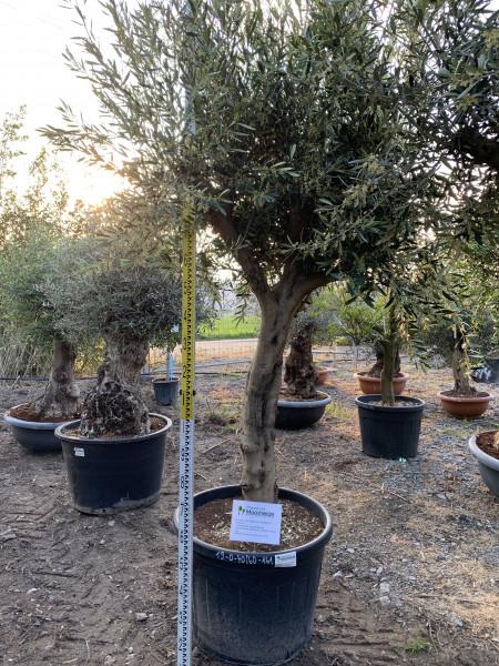 Olivenbaum 40-60 cm Stammumfang-Copy