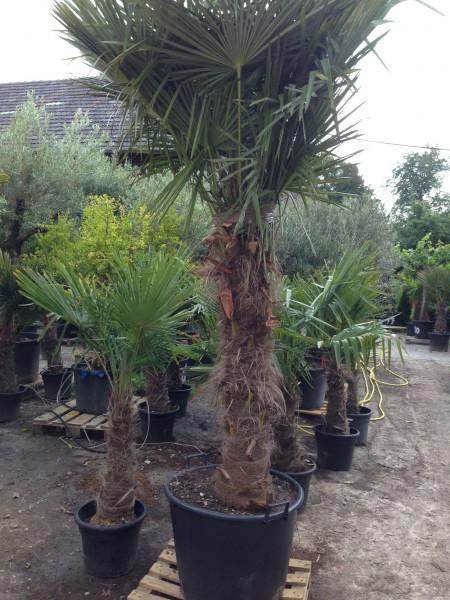 Trachycarpus fortunei - Stammhöhe 190-200 cm, Gesamthöhe 320-340 cm