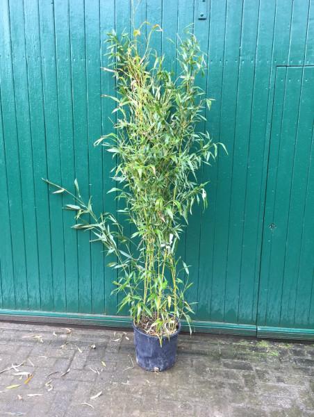 Bambus Phyllostachys bissetii 100/125 (15 Liter Container)
