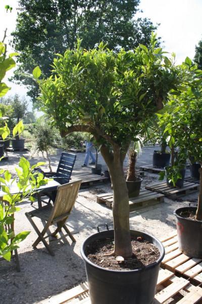 Orangenbaum 30-40 cm Stammumfang