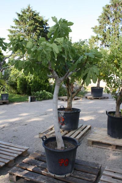 Feigenbaum Stammumfang 20-30 cm