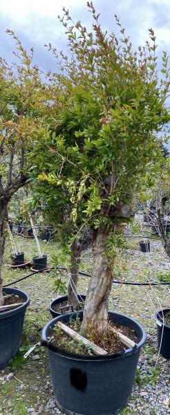 Granatapfelbaum 60-80 cm Stammumfang