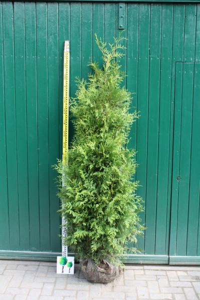 Thuja Brabant 140/160 cm - Premium