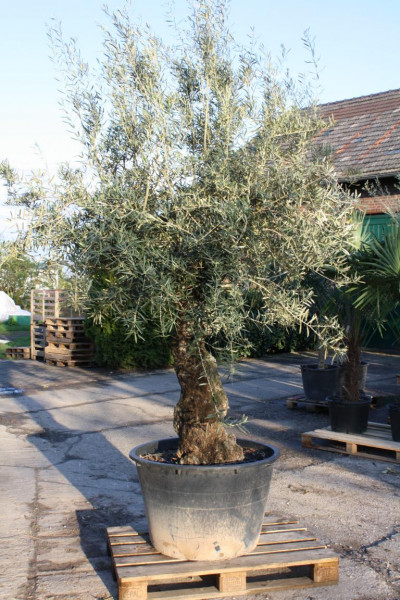 Olivenbaum 80-100 cm Stammumfang