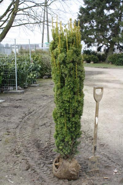 Säuleneibe Fastigiata Aurea 120/140 cm - Premium