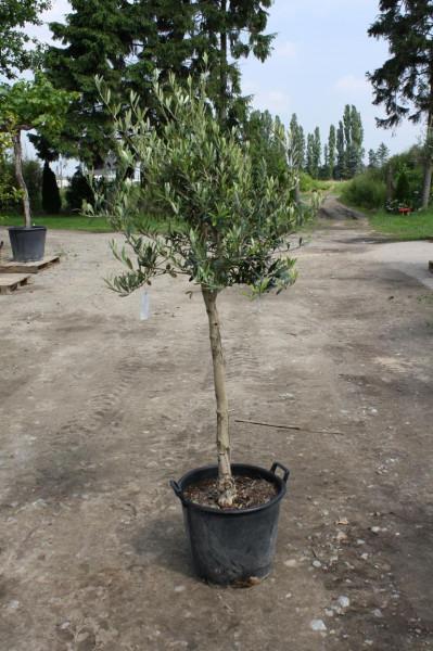 Olivenbaum 10-15 cm Stammumfang