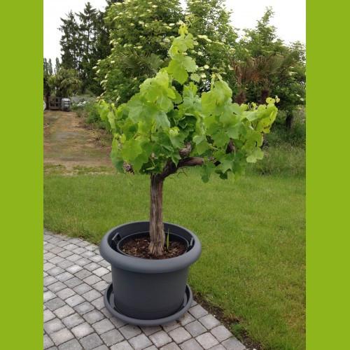 Weinrebe - Gesamthöhe 80-100 cm - Stammumfang 20-30 cm