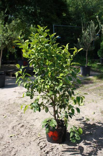 Zitronenbaum Mini