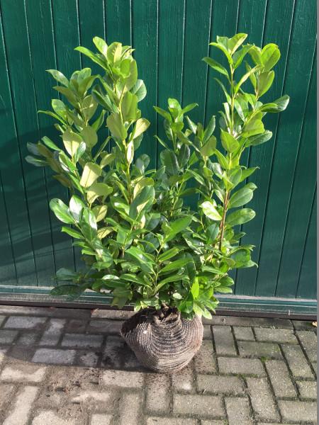 Kirschlorbeer Rotundifolia - Größe 120/140 cm - Premium Ballenware