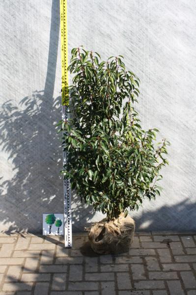 Portugiesischer Kirschlorbeer 80/100 cm