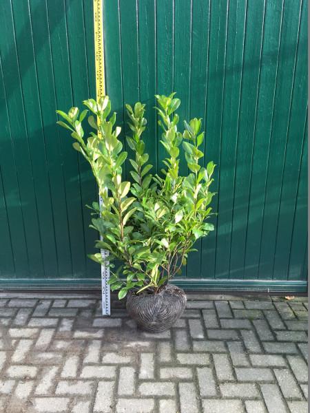Kirschlorbeer Rotundifolia 60/80 cm